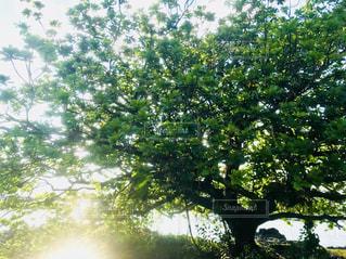 ハワイの大きな木!の写真・画像素材[1089877]