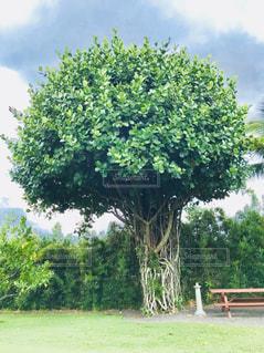 ハワイのマングローブの木♪の写真・画像素材[1089880]