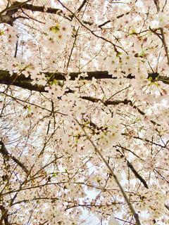 桜の写真・画像素材[1095068]