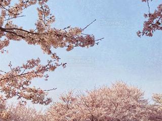桜と空の写真・画像素材[1100334]