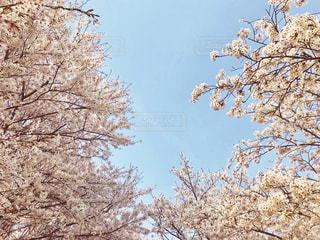 桜と空の写真・画像素材[1100335]