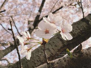 桜の花のアップの写真・画像素材[1100337]