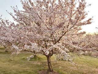 夕暮れ時の桜の木♪の写真・画像素材[1102092]