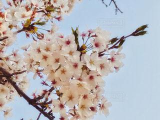 桜の花のアップ🌸の写真・画像素材[1105679]