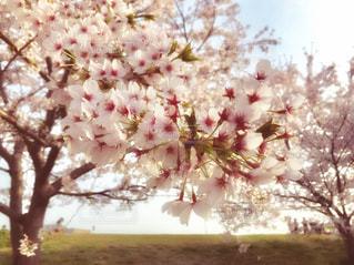 土手沿いの桜の花のアップの写真・画像素材[1111523]