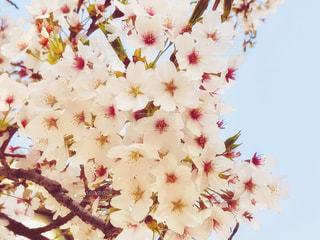 桜の花のアップと青空の写真・画像素材[1111527]