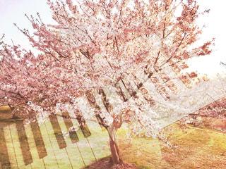 桜の木とピアノを弾く手の写真・画像素材[1125512]