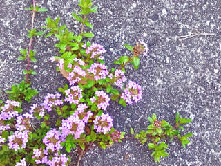 コンクリートに伸びるタイムの花♪の写真・画像素材[1145322]