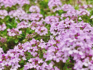 タイムの花のアップの写真・画像素材[1148283]