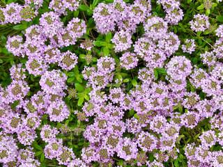 庭のタイムの花。上からも。 - No.1151062