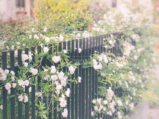 お庭の木香薔薇を引きで。の写真・画像素材[1154433]