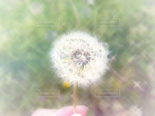 タンポポの綿毛の写真・画像素材[1155341]