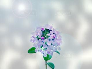 タイムのお花のアップ - No.1157054