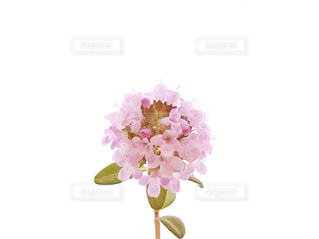 タイムの花のアップの写真・画像素材[1157056]