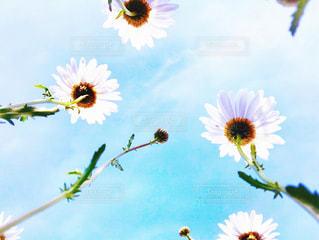 マーガレットと青空の写真・画像素材[1174989]