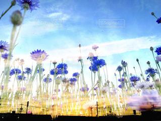 夕焼けに紫とブルーの花の写真・画像素材[1176548]