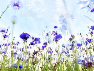 紫とブルーの花をローアングルで。の写真・画像素材[1176549]