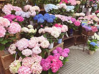 紫陽花の鉢植えの写真・画像素材[1182585]
