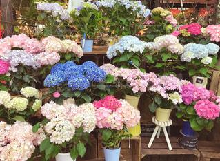紫陽花の鉢植えの写真・画像素材[1182586]