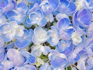 ブルーのアメリカアジサイのアップの写真・画像素材[1182587]