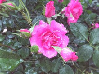 雨の日の薔薇の花の写真・画像素材[1186949]