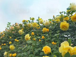 黄色の薔薇の写真・画像素材[1186967]
