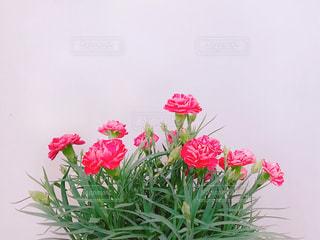カーネーションの鉢植えのアップの写真・画像素材[1198182]