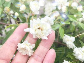 白い薔薇を持っている手の写真・画像素材[1224402]