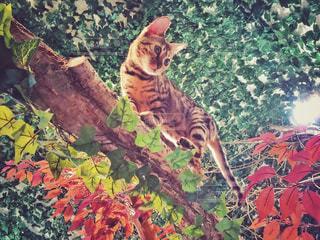 倉敷市美観地区にある猫カフェひょう猫の森のベンガル猫の写真・画像素材[1257067]