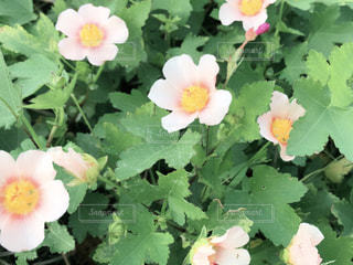ベビーピンクのお花のアップの写真・画像素材[1260371]