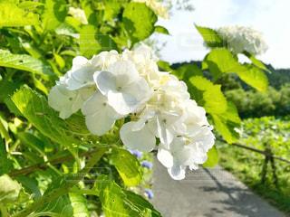 白い紫陽花♪の写真・画像素材[1270338]