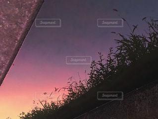 用水路に移る夕焼けと猫じゃらしの影の写真・画像素材[1313348]