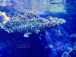 クマノミと珊瑚の写真・画像素材[1393406]