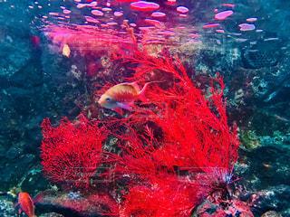 赤い熱帯魚の写真・画像素材[1401084]