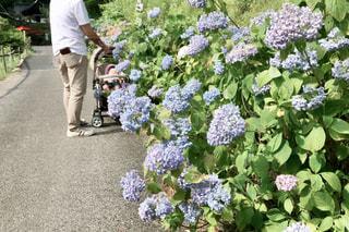 紫陽花と親子の写真・画像素材[1425299]