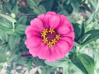 ピンクの花のアップの写真・画像素材[1510809]