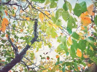秋の桜の木の写真・画像素材[1546738]