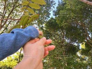 葉っぱを掴む親子の手の写真・画像素材[1561086]