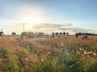 夕暮れ時のコスモス畑の写真・画像素材[1601775]