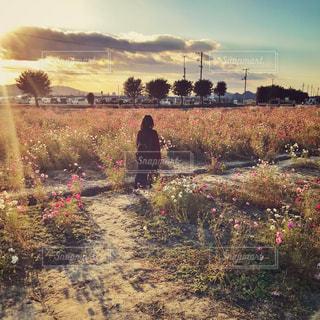 夕日の差し込むコスモス畑と女性の後ろ姿の写真・画像素材[1601776]