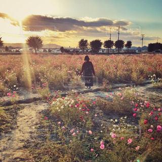 夕日の差し込むコスモス畑と女性の後ろ姿の写真・画像素材[1601777]