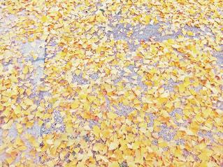 銀杏の絨毯の写真・画像素材[1613100]