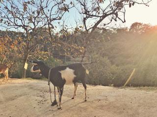 動物園の牛と夕日の写真・画像素材[1627412]