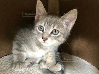 マンチカンの子猫の写真・画像素材[1627419]