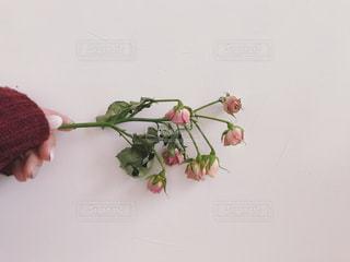 ピンクの薔薇のドライフラワーを持った手の写真・画像素材[1687243]