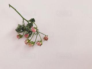 ピンクの薔薇のドライフラワーの写真・画像素材[1687244]