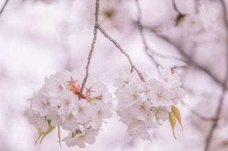 さくらんぼみたいなさくらの花の写真・画像素材[2003881]