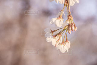 桜の花のアップの写真・画像素材[2031252]
