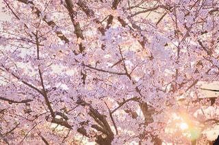 桜の木と夕日の写真・画像素材[2043748]