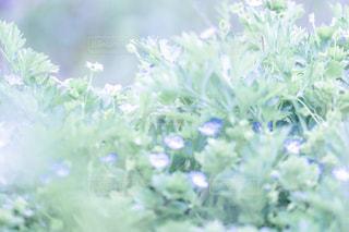 オオイヌノフグリの写真・画像素材[2054686]